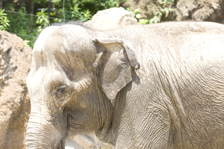 living thing: Asian elephant