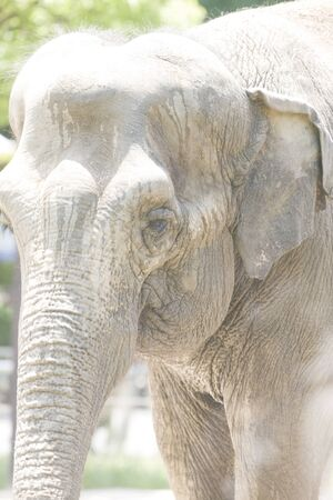 living thing: Asian elephant