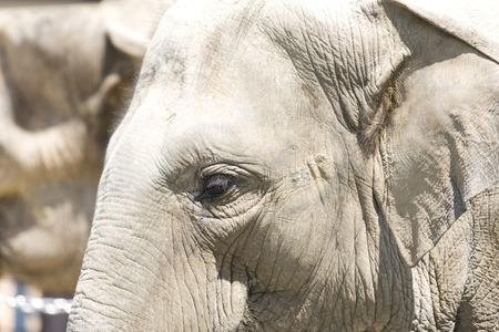 living organism: Asian elephant
