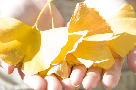 both: Ginkgo leaves that are placed on both hands
