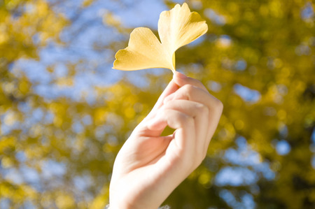 ginkgo leaf: A piece of ginkgo leaf of which is held in the hand