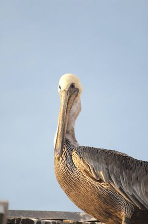 living thing: Pelican