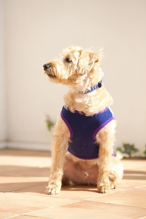 poodle mix: Sitting to Shunapu Stock Photo
