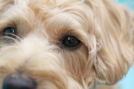 シュナウザーとプードルのミックス犬 写真素材 - 47028722
