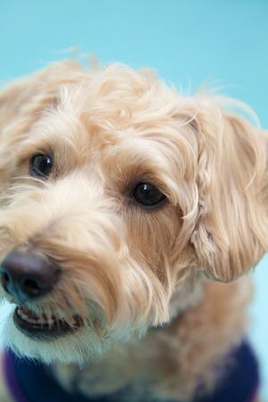 シュナウザーとプードルのミックス犬 写真素材 - 47028731