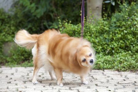 undulating: Chihuahua to be undulating the body