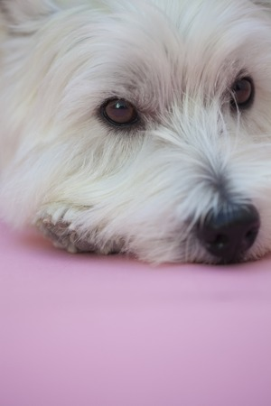 turn down: West Highland White Terrier Stock Photo