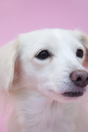 チワワとミニチュアダックスフンドのミックス犬 写真素材 - 46887750