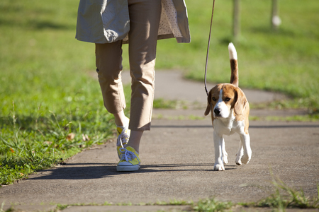 Beagle to walk with a woman