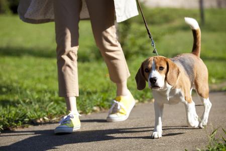 seres vivos: Beagle a caminar con una mujer