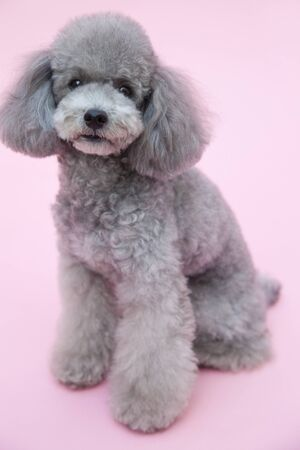 living thing: Toy poodle Stock Photo
