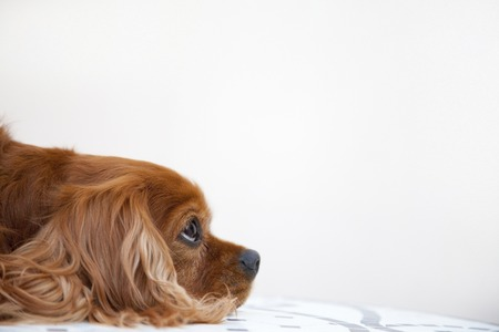 living thing: Cavalier