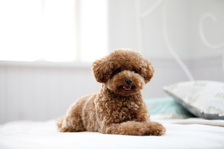 fuse: Toy Poodle to the Fuse on the bed