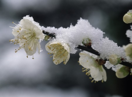 early spring snow: Fresh snow and plum