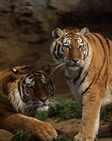 mammalian: Tiger