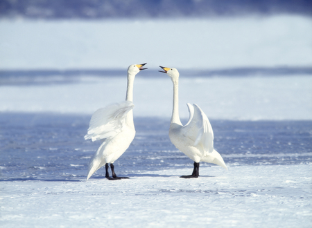 courtship: Courtship of swan Stock Photo