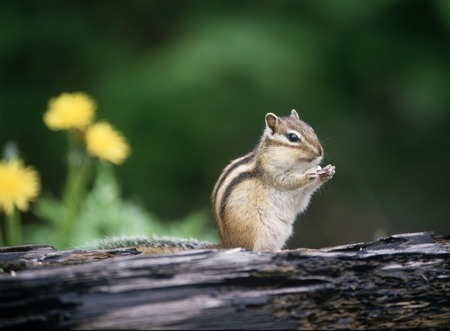 ardilla: Chipmunk