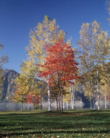 treelined: Autumn leaves of birch tree-lined Stock Photo