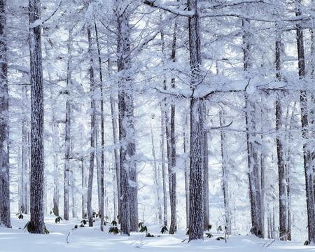 treelined: Japanese larch tree-lined