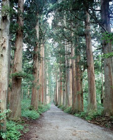 cedars: Avenue of cedars