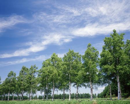 birch trees: Birch trees Stock Photo