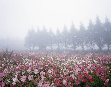 plateau of flowers: Cosmos Stock Photo