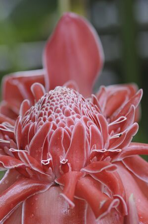 ginger flower plant: Torch ginger flower