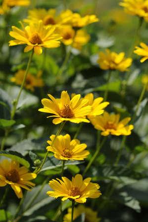 helianthus: Helianthus Atororubensu flowers