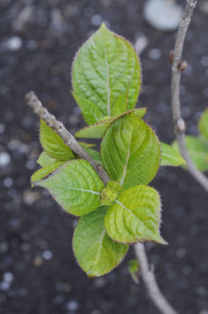 armature: Young leaves and shoots of the armature Stock Photo