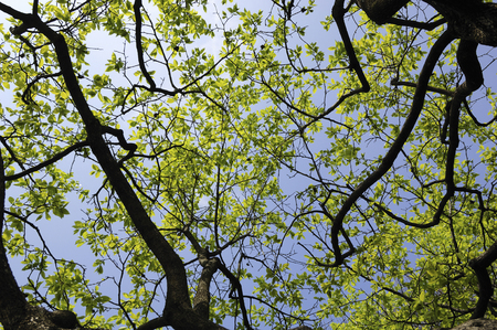 diospyros: Diospyros kaki of young leaves and fresh green Stock Photo