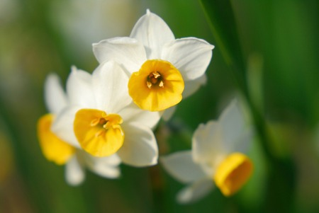 narcissus: Narcissus Stock Photo