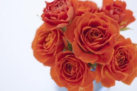 rosas naranjas: Orange rosas