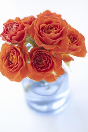 rosas naranjas: Orange roses Foto de archivo