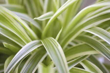 観葉植物オリヅルランの