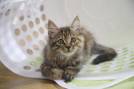 laundry basket: Kitten in the laundry basket
