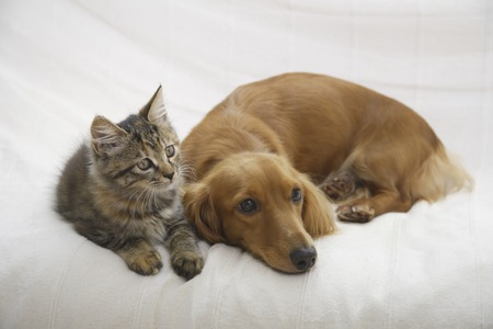 miniature dog: Good friend on the couchDax and kitten