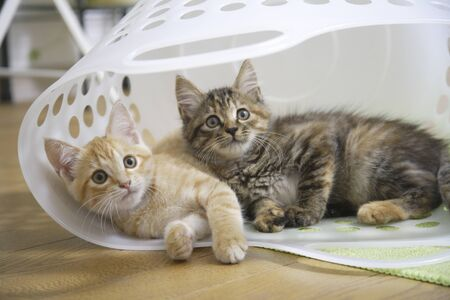laundry basket: Two kittens in the laundry basket Stock Photo