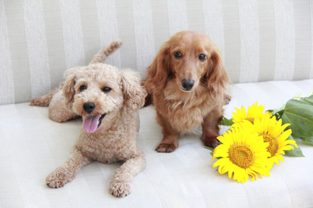 Pet and sunflowers flowers