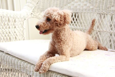 living organism: Toy poodle Stock Photo