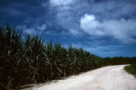 sugar cane: Sugar cane fields