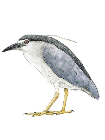 migratory: Wild bird Stock Photo