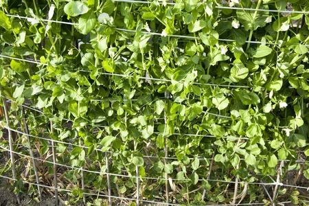 familiy: Leaves of peas