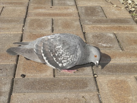 peck: Pigeon park pecking for food Stock Photo