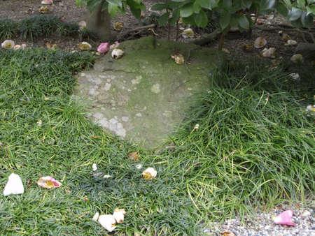 Petals of Kantsubaki fell in the garden