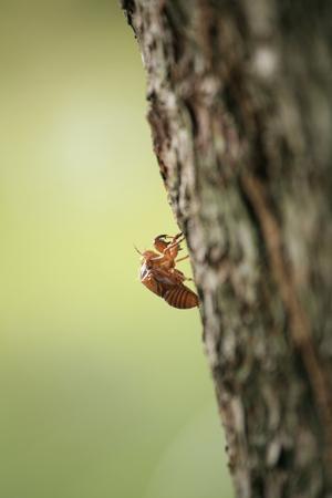 蝉の殻 写真素材