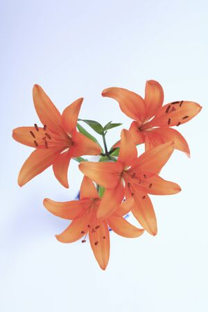 disperse: Flower Lily