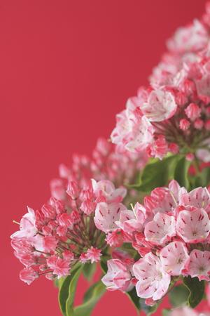 disperse: Flower Kalmia