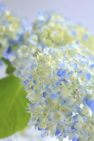disperse: Hydrangea flowers