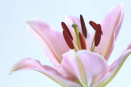 florid: Flower Lily
