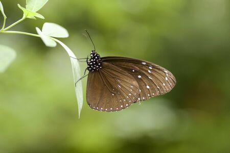japonica: Corbicula japonica